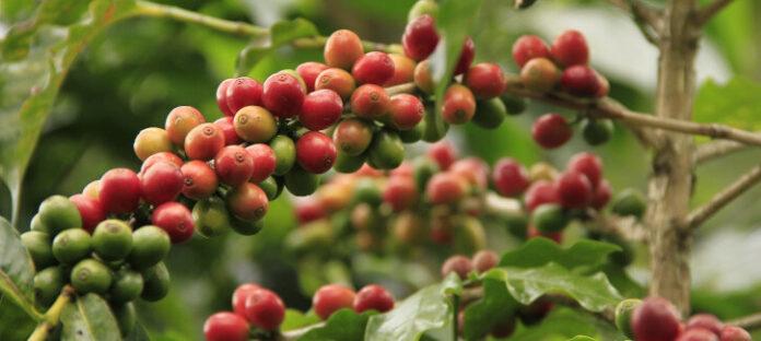 Jak parzyć zieloną kawę mieloną?