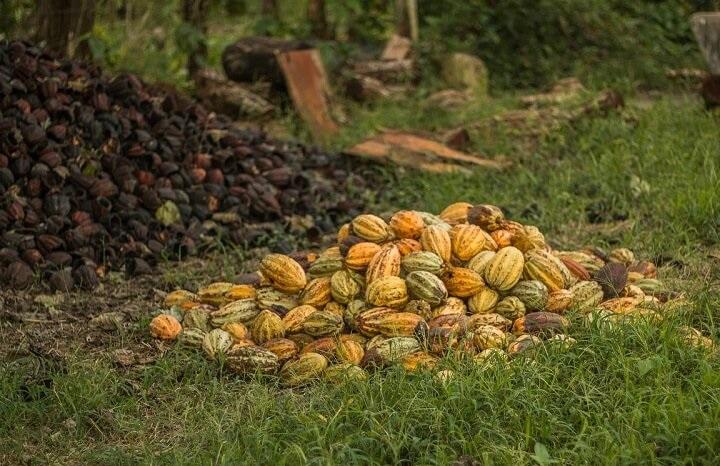 kakao surowe